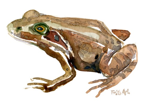 common-frog-2-watercolour-illustration-by-frits-ahlefeldt