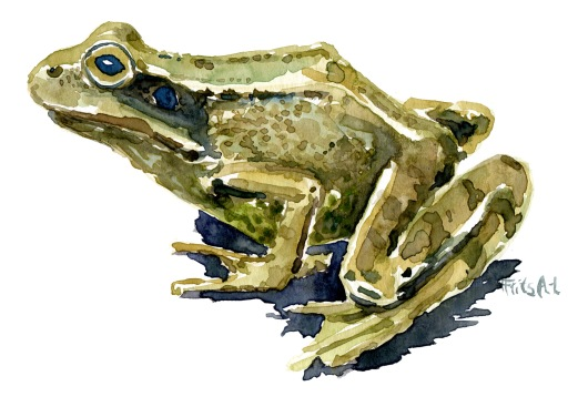 common-frog-watercolor-illustration-by-frits-ahlefeldt