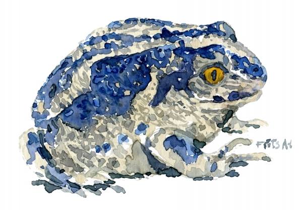 Common Spade foot toad watercolour