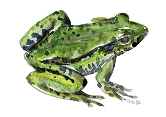 edible-frog-watercolor-illustration-by-frits-ahlefeldt