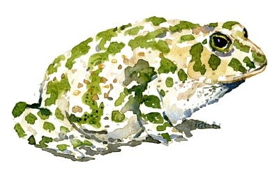 Green-toad-side-illustration-by-frits-ahlefeldt