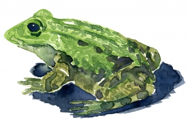 Marsh frog watercolor