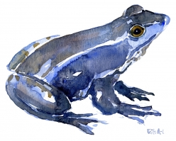 Moor frog watercolor blue sketch