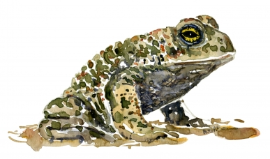 Natterjack toad watercolor