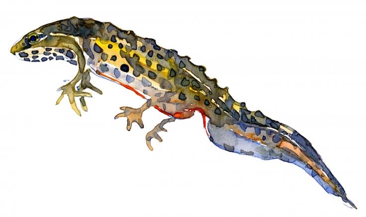 Salamander watercolour by frits Ahlefeldt