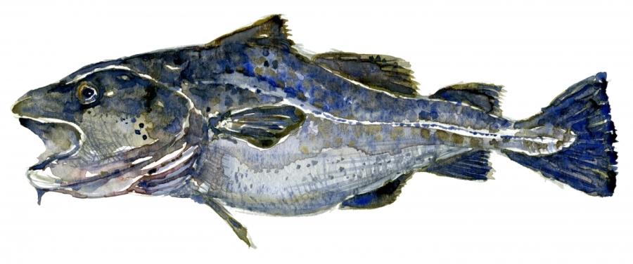 illustration of cod fish