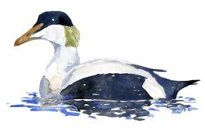 Watercolor of an Eider duck