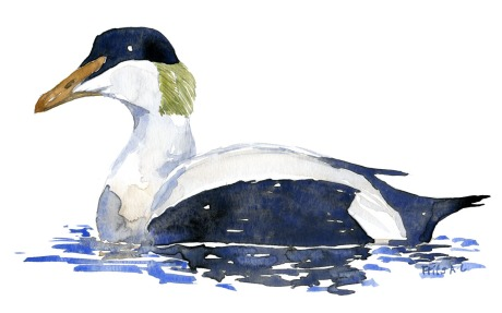 Watercolor of an Eider duck