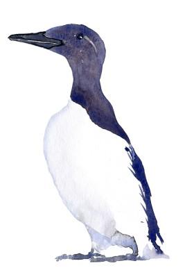 Guillemot bird illustration