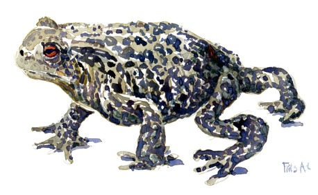 illustration of a toad in watercolour