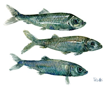 Herring fish watercolor
