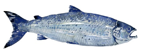 illustration of a Salmon in watercolour
