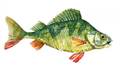 Watercolor of Persh fish