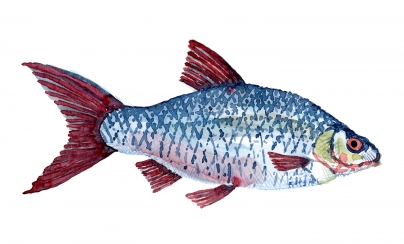 Watercolour of roach fish