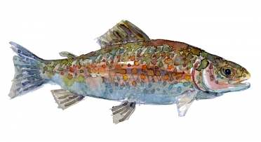 Watercolor of Trout